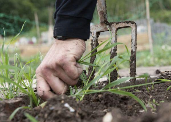 Buriny sú vynikajúce hnojivo, skontrolujte, nebudete ľutovať