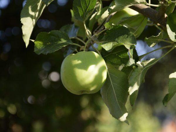 Сорт яблук семеренко