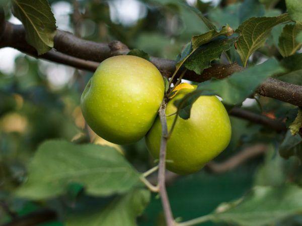 Ябълките имат добър вкус.