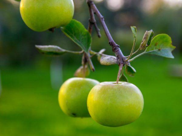 Пресните плодове се съхраняват през цялата зима