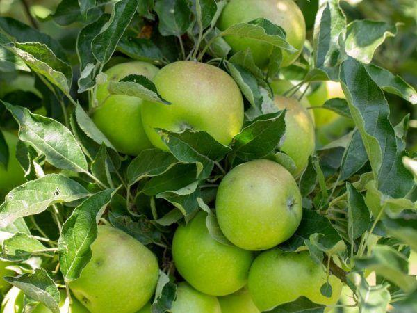Разнообразие от ябълково дърво Phoenix Altai