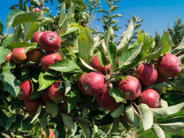 Сорт яблуні китайка керр