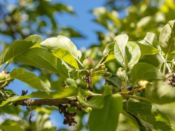 Сорт яблуні вимпел - основні переваги