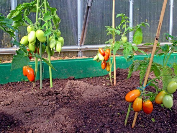 Сорт домат сибирски три