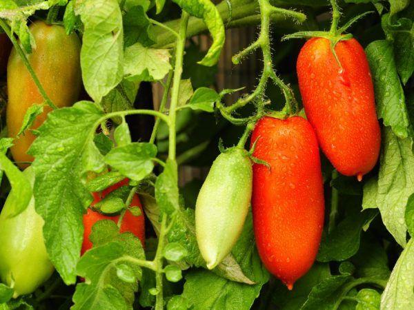 Сорт домати смешен гном