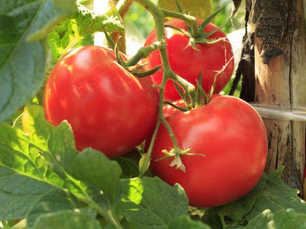 Разновидност на летния резидент на домати