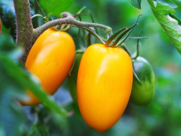 Odroda charakteristická pre paradajkové nepásy