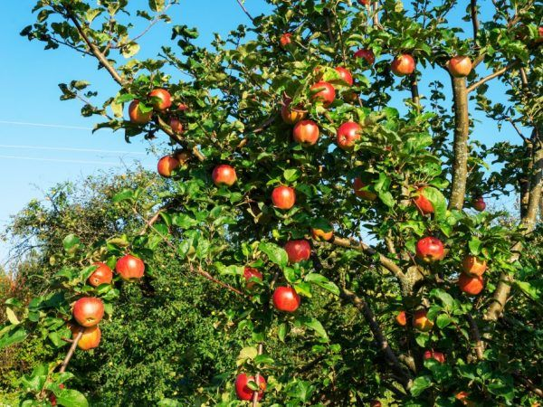 Ябълковите дървета растат и дават плод в продължение на много години