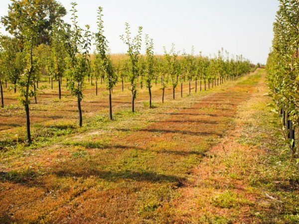 Животът на ябълковото дърво - какво влияе върху него