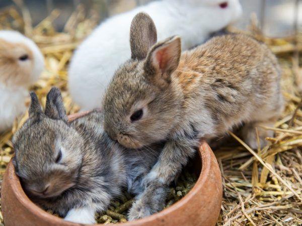 Условията на гестация на заешкия заек