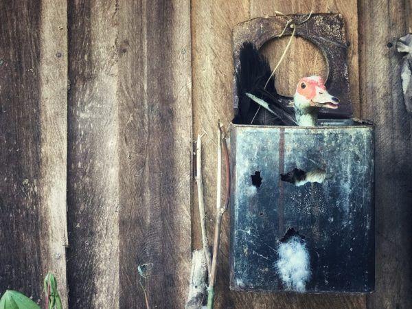 Когато патицата е готова за засаждане на яйца, тя често седи в избраното гнездо и когато се опитате да го отгледате, тя започва да скърца
