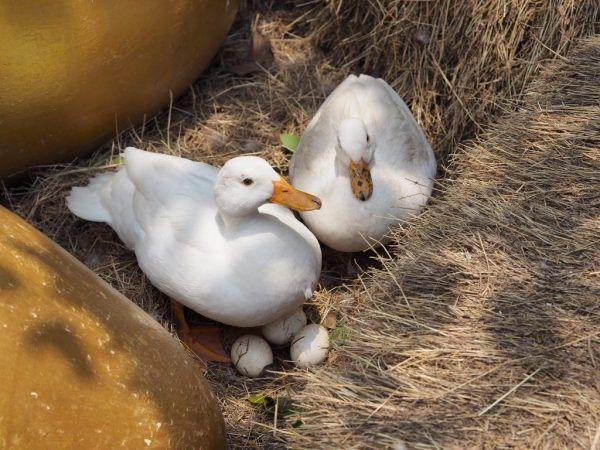 Щоб каченята росли міцними і здоровими, потрібно дотримуватися всіх правил догляду за ними