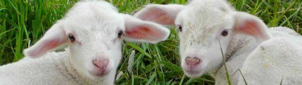 Мляко на прах за агнета: как да изберем и разреждаме смес или мляко