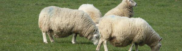 Овчащи (бременни) овце: колко агнета могат да бъдат в едно агне, честота на коагулация
