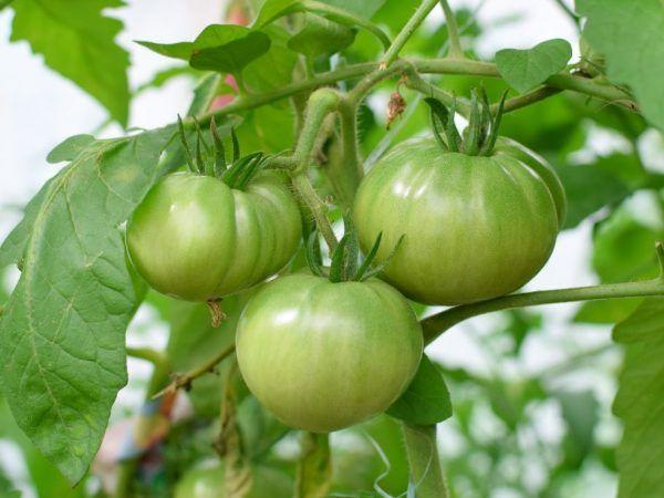 Odrody paradajok býčie čelo