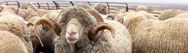 Развъждане на фина вълна овце: най-известните породи, развъждане