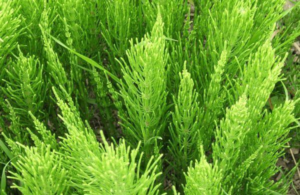 Presličná tráva: opis, vlastnosti a použitie