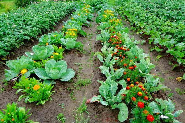 Запечатано засаждане и съвместимост на зеленчуците в лехите