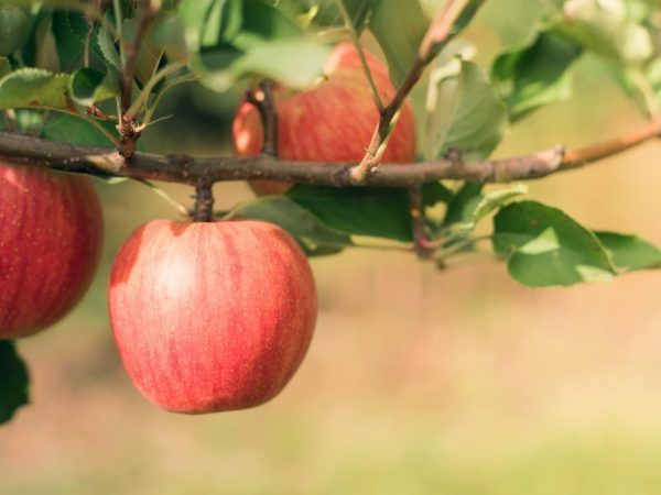 Уральське рожеве - стійка яблуня з хорошою врожайністю