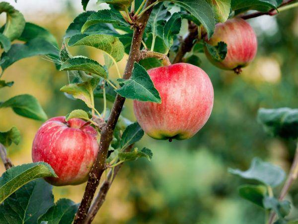 Pre jablone je dôležité pravidelné zavlažovanie