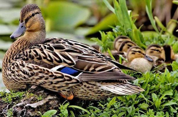 Порода патица: преглед на дивата птица