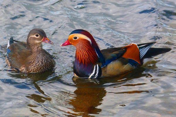 Мандаринова патица: описание на породата, местообитание и размножителни характеристики