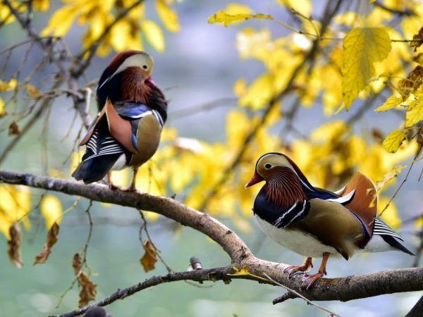 Мандаринови патици естествено местообитание: планини в близост до реки и планински гори. Тя често седи на дърво или скала.
