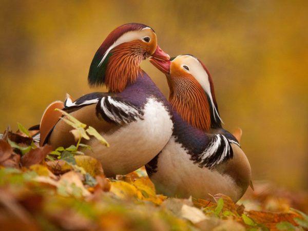 В сезона на чифтосване мъжката има много ярък цвят, а след това се разтопява, придобивайки по-спокойно оперение. През този период те се събират в гъсталаците и се крият там