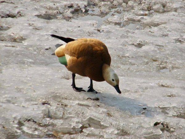 Патешки огън или червена патица