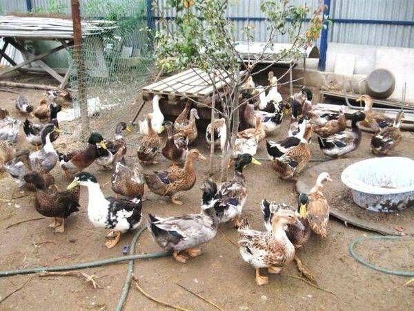 Башкирски патици: отглеждане у дома