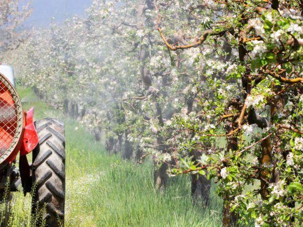 Весняна і осіння обробка яблунь сечовиною