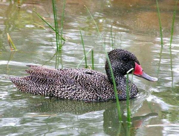 Видове патици: сортове, породи домашни патици