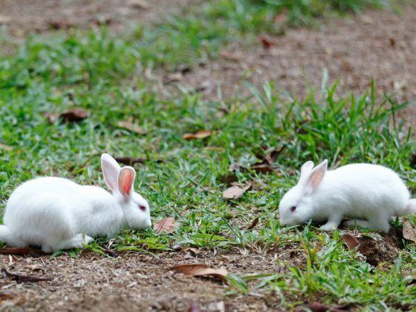 Плетене на зайци у дома