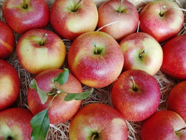 Непретенциозни зимни ябълки