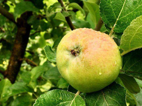 Вирощування яблуні березневе