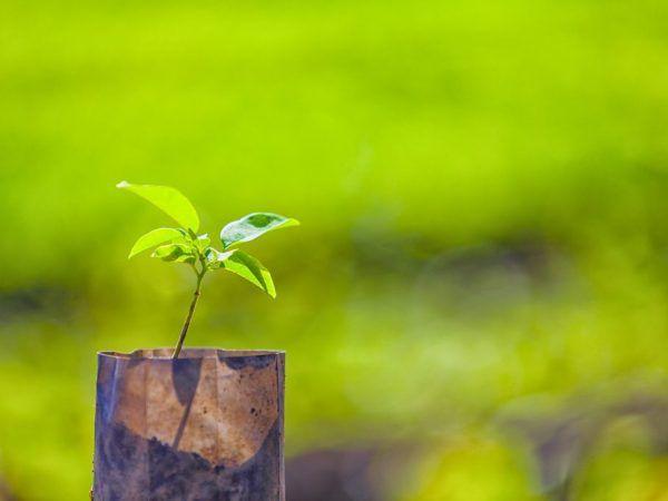 Výsadba mladého stromu sa môže uskutočniť na jar a na jeseň