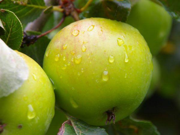 Ovocie sa môže skladovať čerstvé až šesť mesiacov