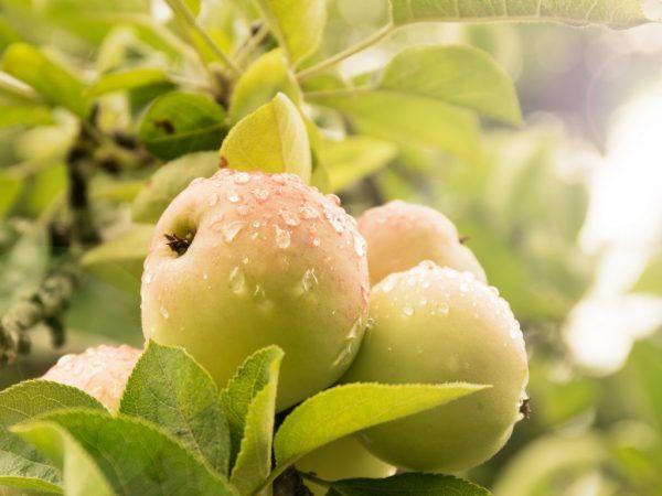 Отглеждане на orlink ябълково дърво