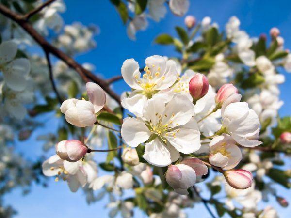 Ябълковите дървета се нуждаят от опрашители