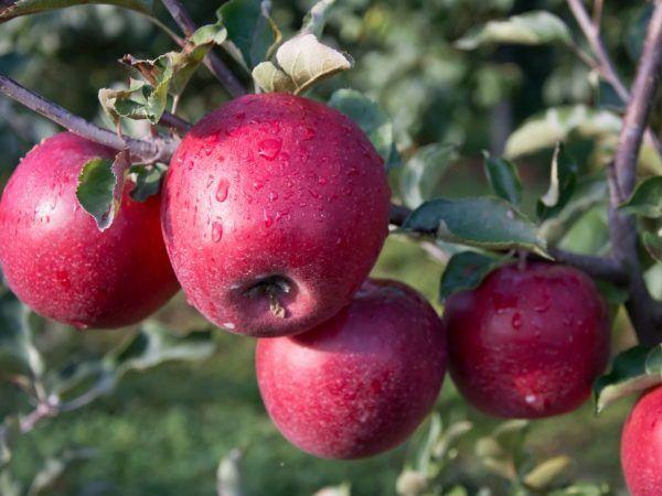 Вирощування яблуні пам`ять ульяніщева