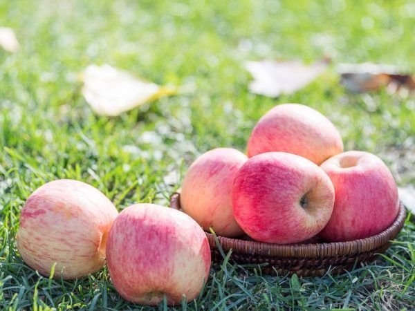 Росошанское отглеждане на райета ябълково дърво