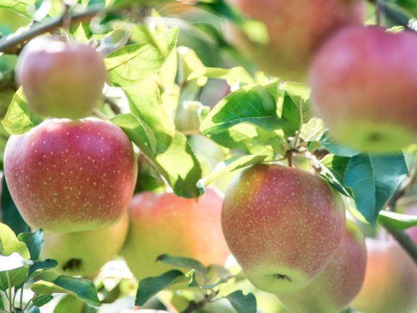 Отглеждане на ябълкови дървета Северен Синап