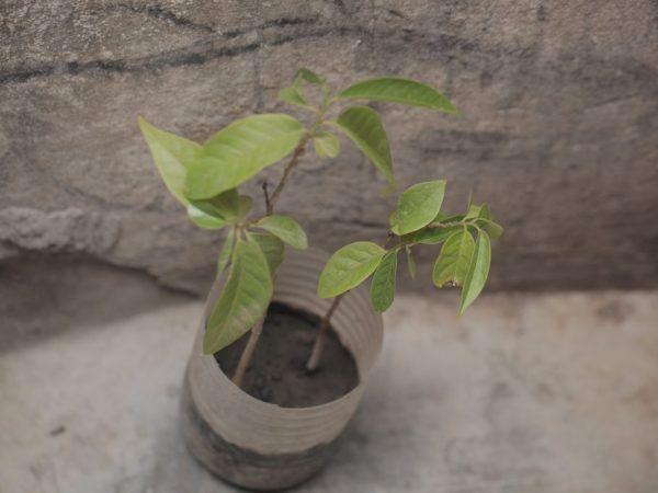 Ябълковото дърво дава плодове много дълго време