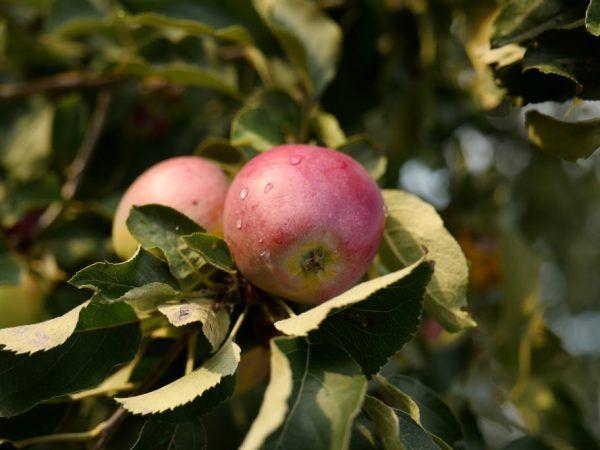 Отглеждане на ябълка Орлик