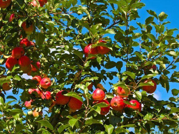 Торовете увеличават добива на ябълковите дървета