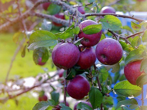Ябълково дърво, отглеждащо веняминовски