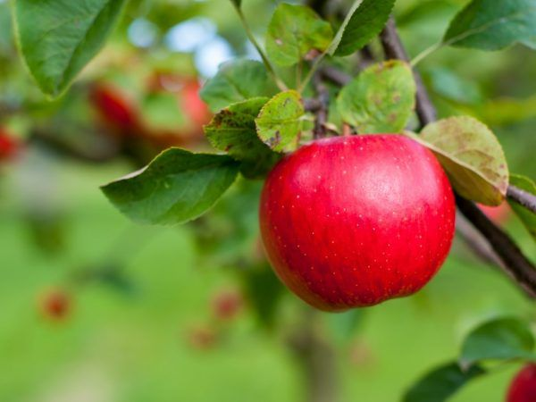 Plody majú dobrú chuť.