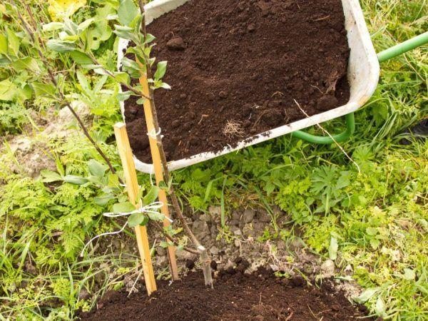 Sadenice sa odporúčajú vysadiť mesiac pred mrazom