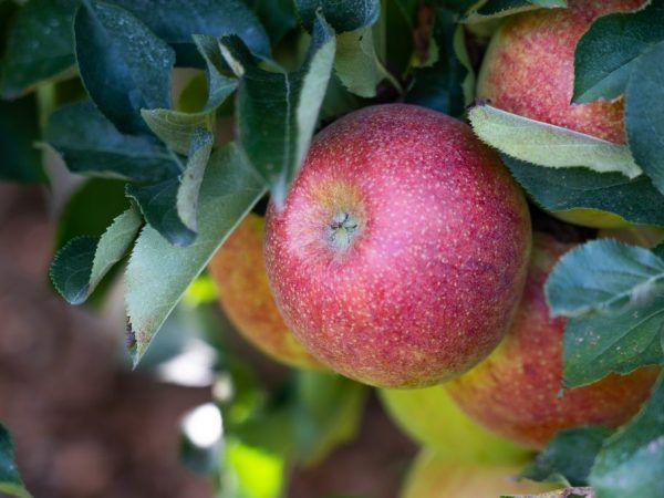 Ovocie sa môže skladovať čerstvé po dlhú dobu.