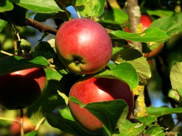 Pestovanie chránenej jablone